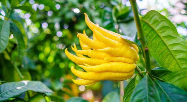 Cedro mano di Buddha: ecco cosa c'è da sapere su questo curioso agrume
